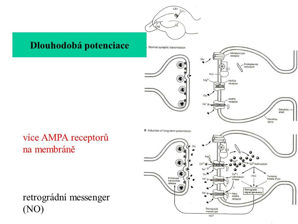 Dlouhodobá potenciace retrográdní messenger (NO) Presynaptická část Postsynaptická část