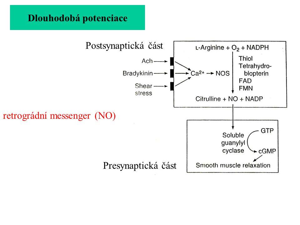 vznik nových synapsí Dlouhodobá potenciace retrográdní messenger (NO) více AMPA receptorů na postsynaptické membráně