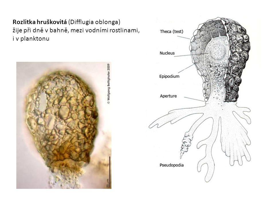 Štítovka obecná (Arcella vulgaris) jediným otvorem vystrkuje prstovité panožky, pomocí nich leze po vodních rostlinách, v bahně, přijímá potravu – bakterie, drobné řasy