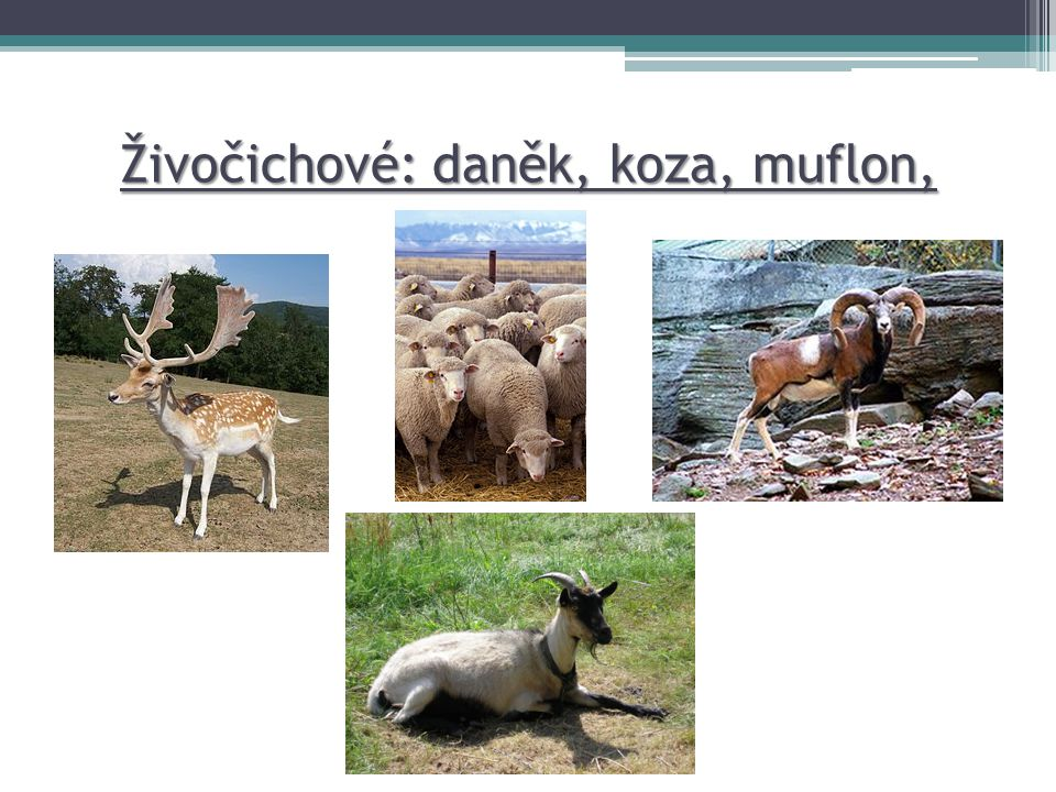 Živočichové: daněk, koza, muflon, ovce