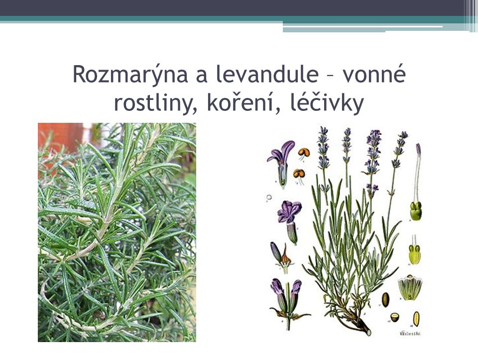 Rozmarýna a levandule – vonné rostliny, koření, léčivky