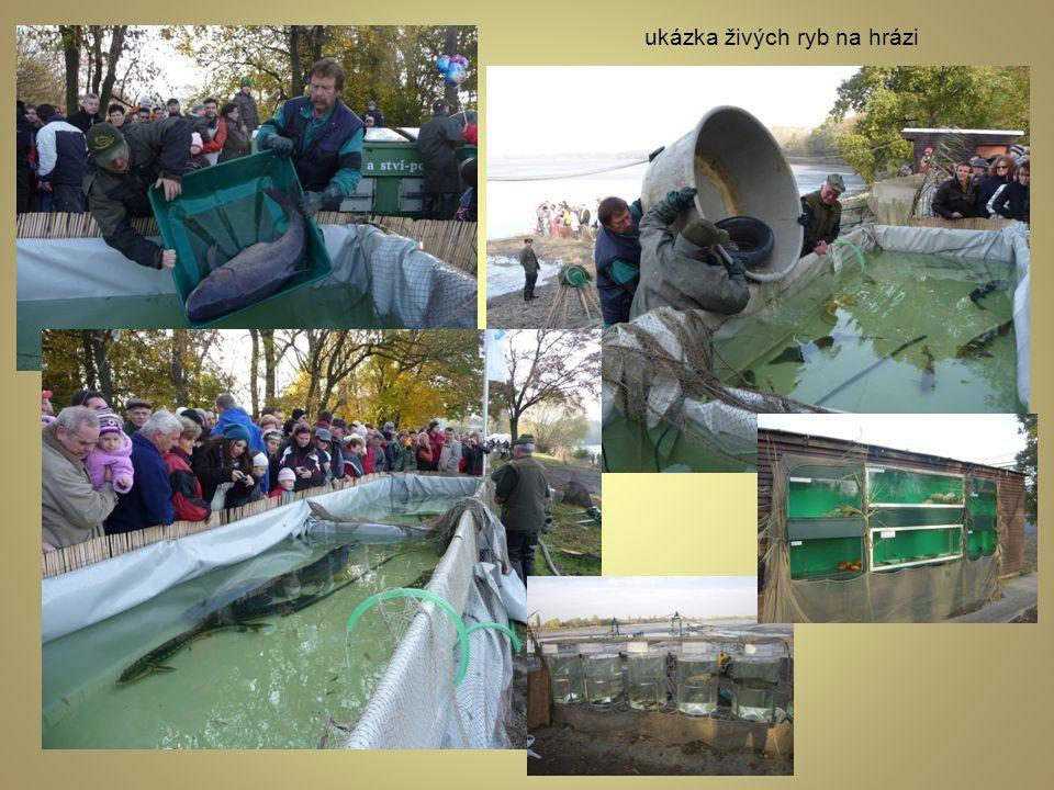 ukázka živých ryb na hrázi