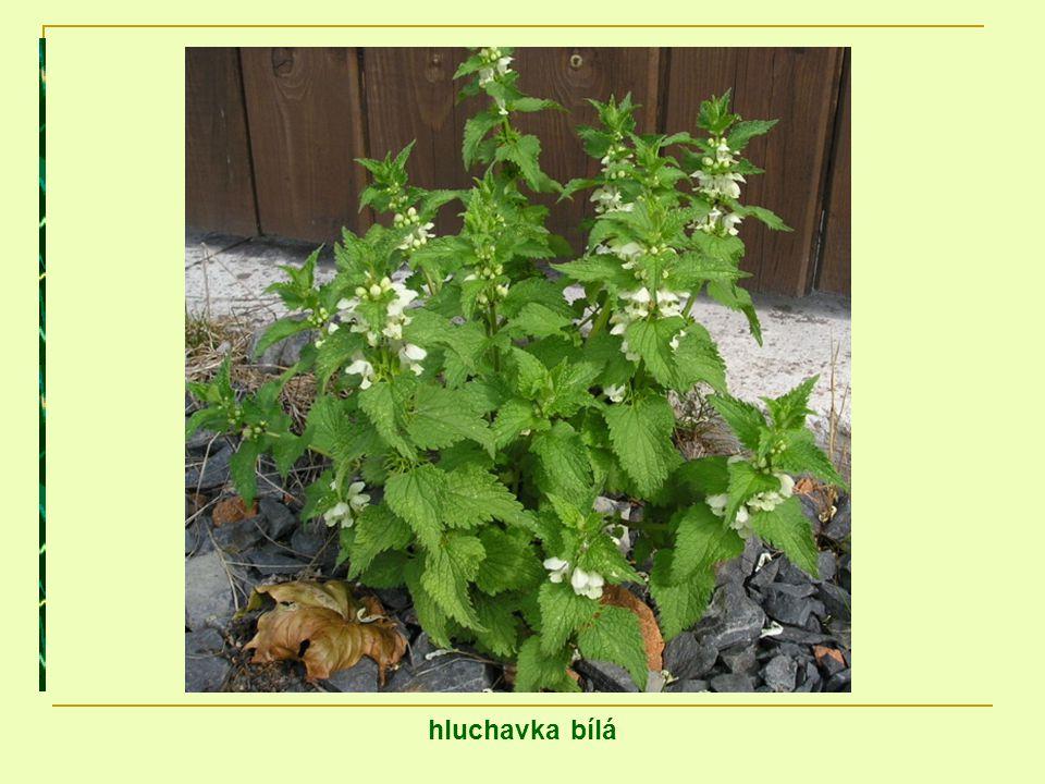 Květy medonosných hluchavkovitých rostlin jsou výbornou pastvou pro včely.