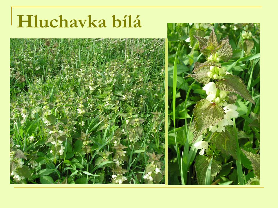 Hluchavka nachová 1