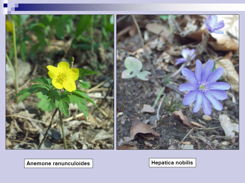 Anemone ranunculoides Hepatica nobilis