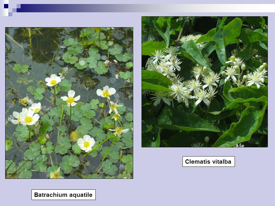 Batrachium aquatile Clematis vitalba