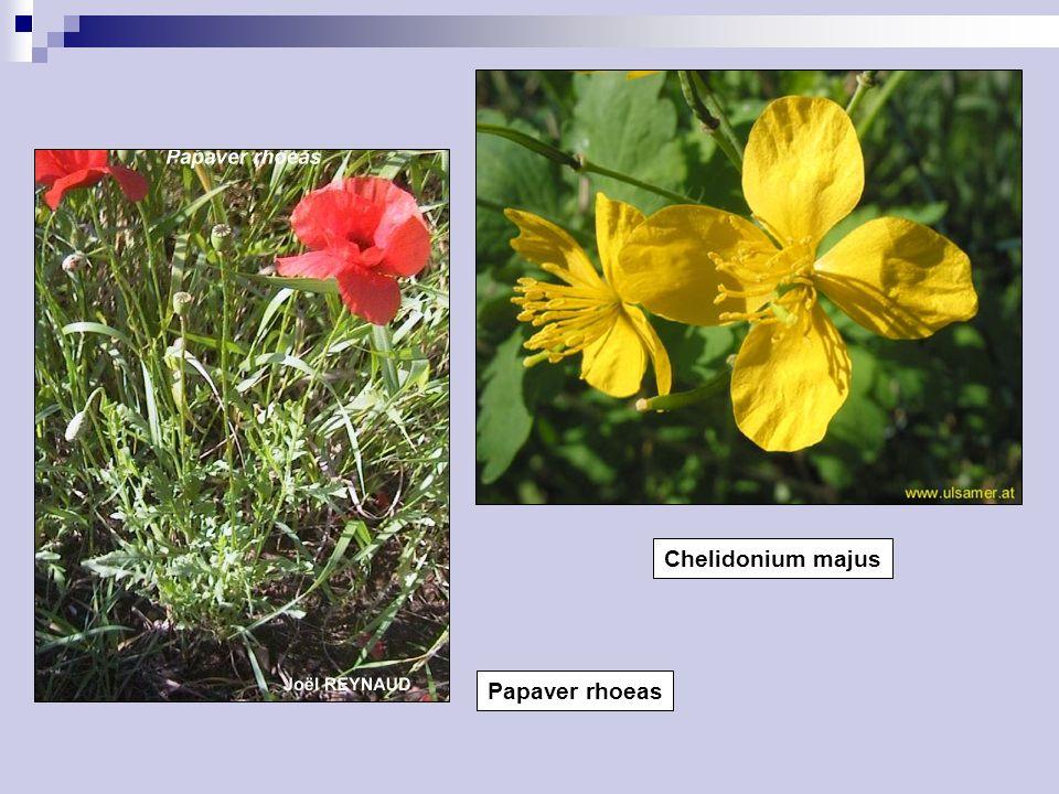 Papaver rhoeas Chelidonium majus