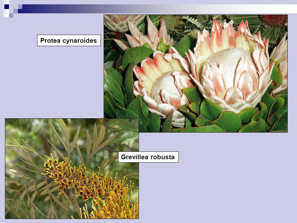 Protea cynaroides Grevillea robusta
