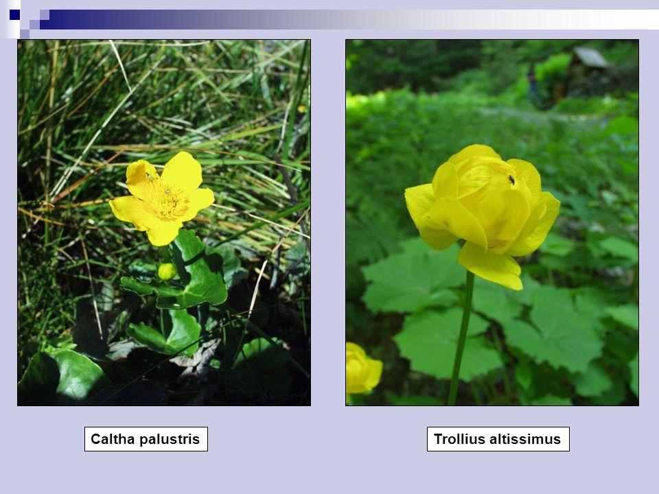 Caltha palustrisTrollius altissimus