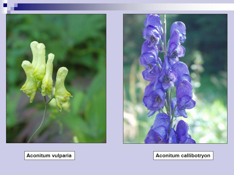 Aconitum vulpariaAconitum callibotryon