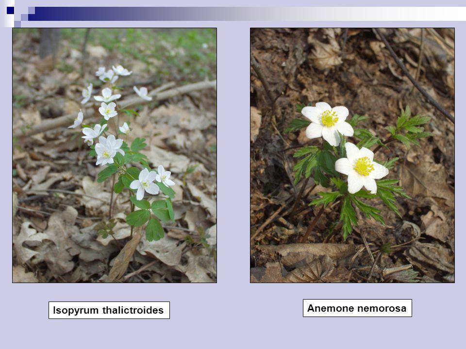 Isopyrum thalictroides Anemone nemorosa