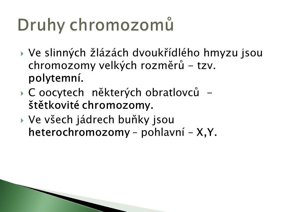  Ve slinných žlázách dvoukřídlého hmyzu jsou chromozomy velkých rozměrů - tzv.