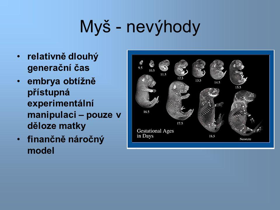 Myš - nevýhody relativně dlouhý generační čas embrya obtížně přístupná experimentální manipulaci – pouze v děloze matky finančně náročný model