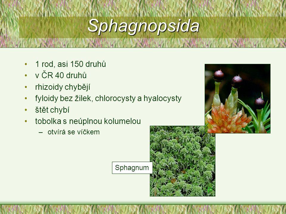 Sphagnopsida 1 rod, asi 150 druhů v ČR 40 druhů rhizoidy chybějí fyloidy bez žilek, chlorocysty a hyalocysty štět chybí tobolka s neúplnou kolumelou –