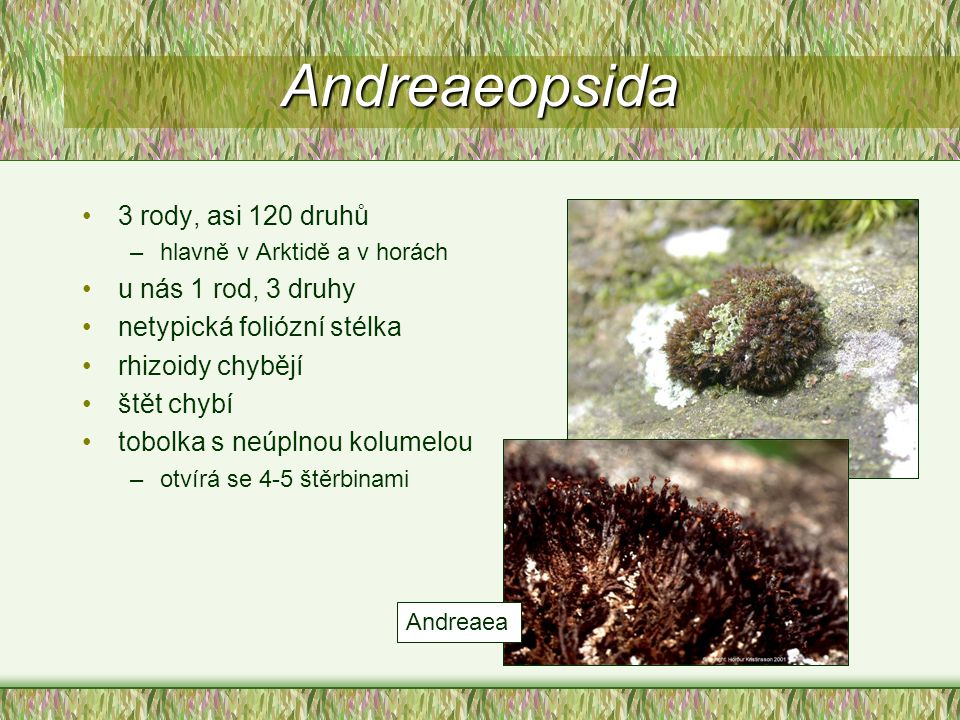 Andreaeopsida 3 rody, asi 120 druhů –hlavně v Arktidě a v horách u nás 1 rod, 3 druhy netypická foliózní stélka rhizoidy chybějí štět chybí tobolka s
