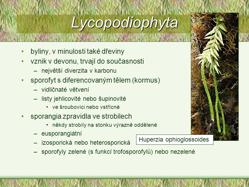 Lycopodiophyta byliny, v minulosti také dřeviny vznik v devonu, trvají do současnosti –největší diverzita v karbonu sporofyt s diferencovaným tělem (k