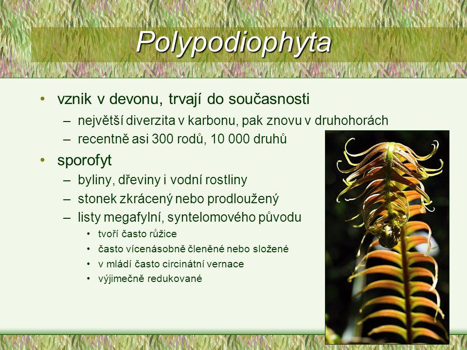 Polypodiophyta vznik v devonu, trvají do současnosti –největší diverzita v karbonu, pak znovu v druhohorách –recentně asi 300 rodů, 10 000 druhů sporo