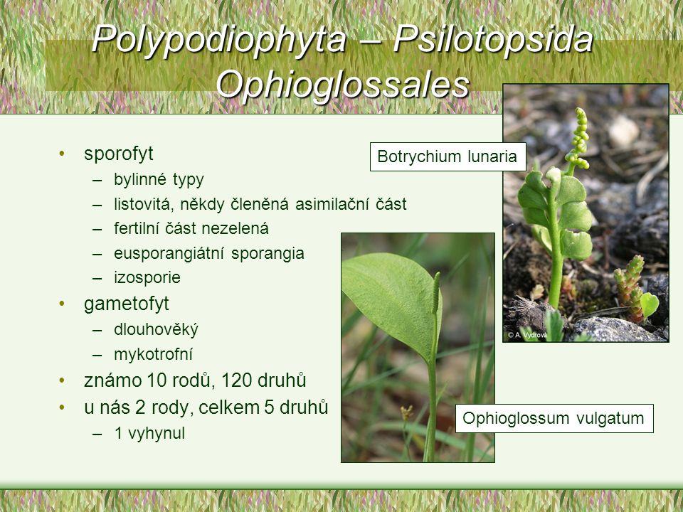 sporofyt –bylinné typy –listovitá, někdy členěná asimilační část –fertilní část nezelená –eusporangiátní sporangia –izosporie gametofyt –dlouhověký –m