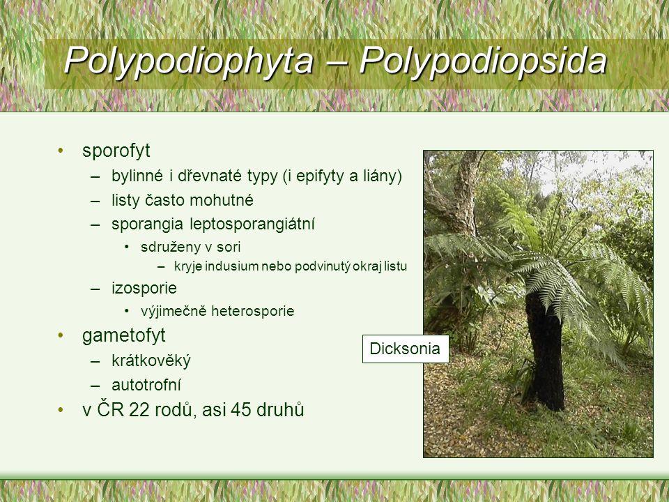 sporofyt –bylinné i dřevnaté typy (i epifyty a liány) –listy často mohutné –sporangia leptosporangiátní sdruženy v sori –kryje indusium nebo podvinutý