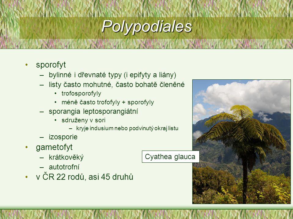 sporofyt –bylinné i dřevnaté typy (i epifyty a liány) –listy často mohutné, často bohatě členěné trofosporofyly méně často trofofyly + sporofyly –spor