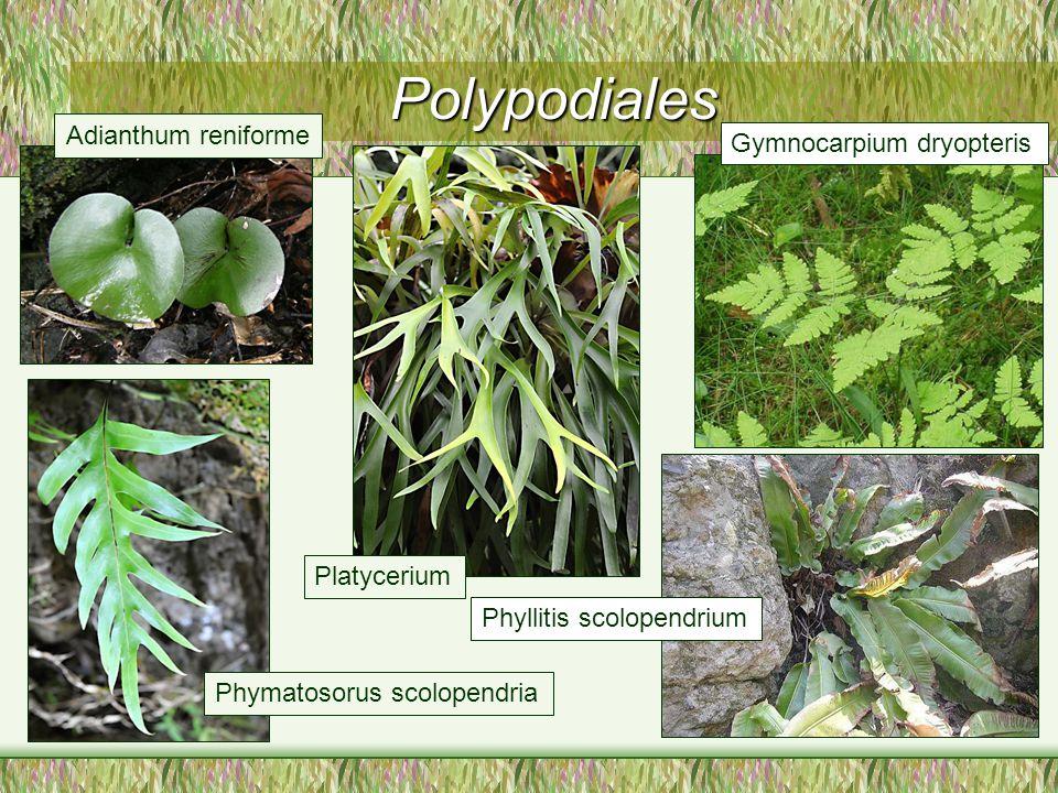 Phyllitis scolopendrium Gymnocarpium dryopteris Polypodiales Phymatosorus scolopendria Adianthum reniforme Platycerium