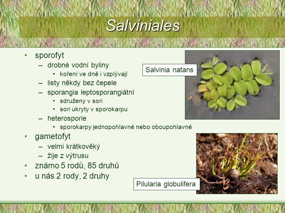 Salviniales sporofyt –drobné vodní byliny koření ve dně i vzplývají –listy někdy bez čepele –sporangia leptosporangiátní sdruženy v sori sori ukryty v
