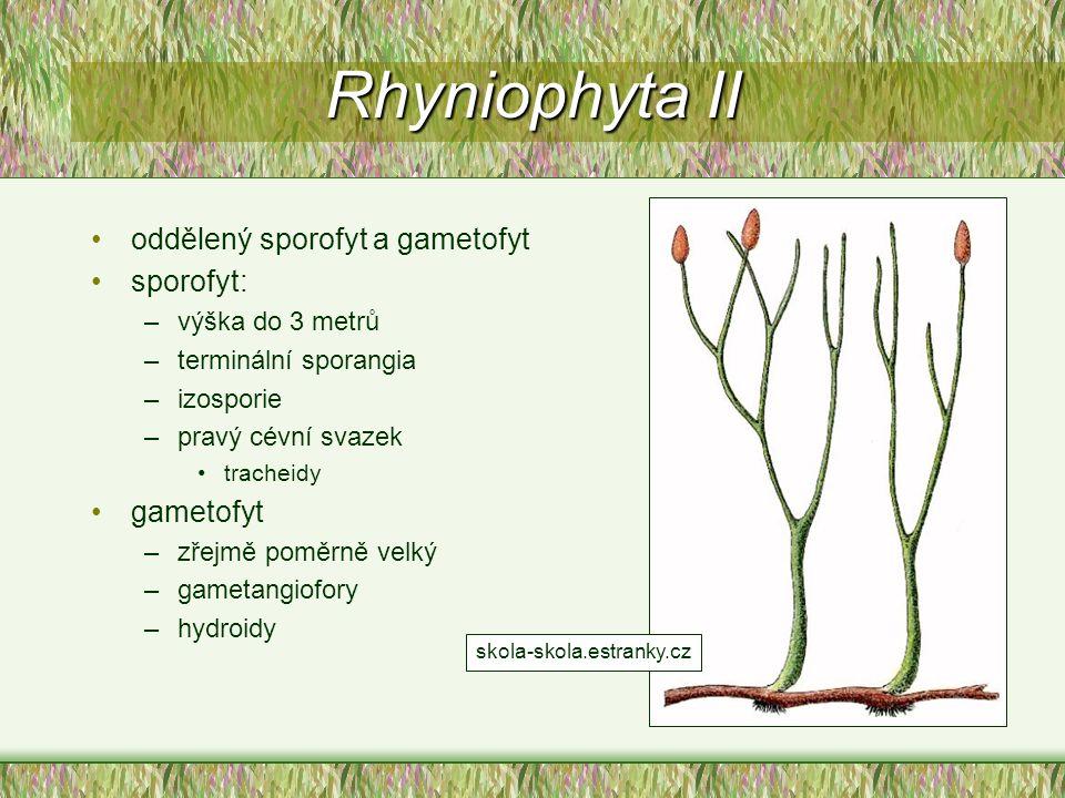 Rhyniophyta II oddělený sporofyt a gametofyt sporofyt: –výška do 3 metrů –terminální sporangia –izosporie –pravý cévní svazek tracheidy gametofyt –zře