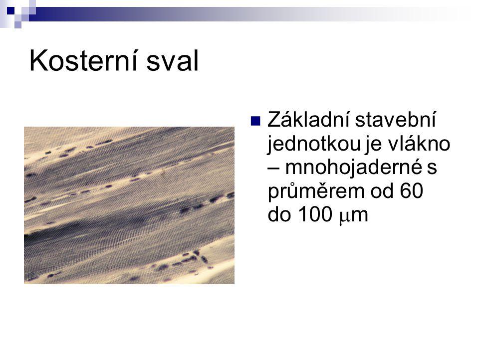 Kosterní sval Základní stavební jednotkou je vlákno – mnohojaderné s průměrem od 60 do 100  m