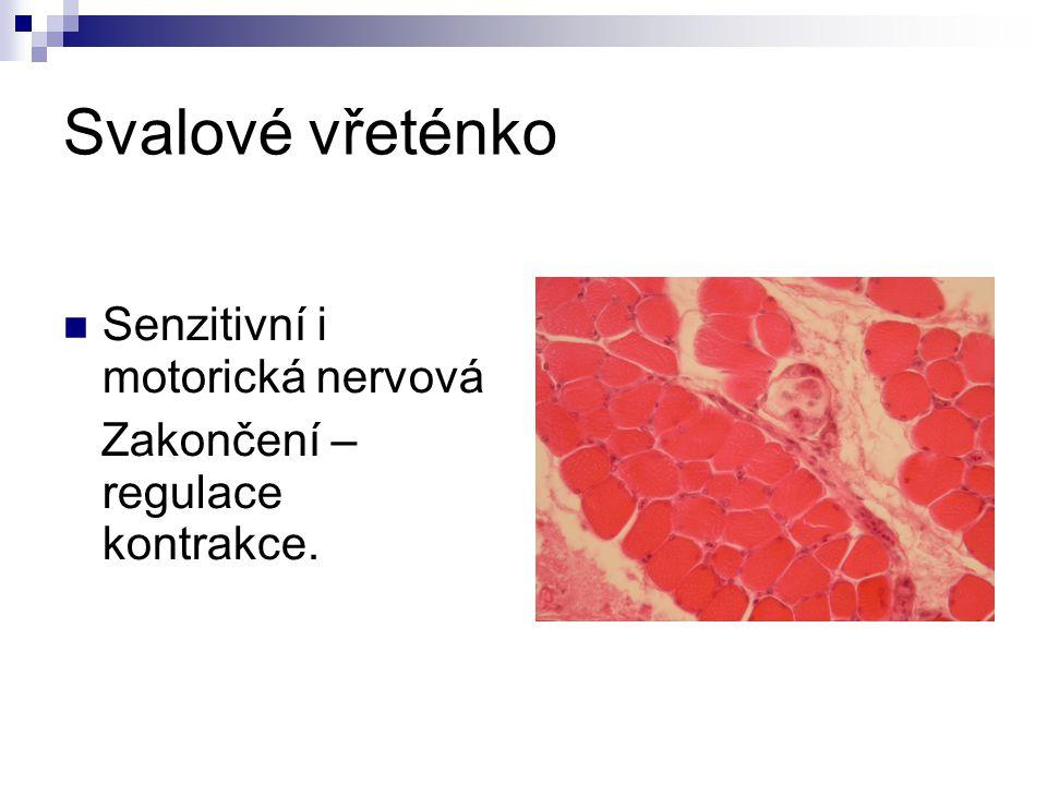 Svalové vřeténko Senzitivní i motorická nervová Zakončení – regulace kontrakce.