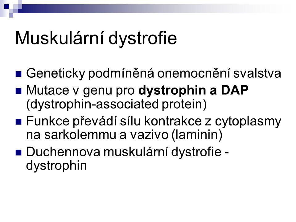 Muskulární dystrofie Geneticky podmíněná onemocnění svalstva Mutace v genu pro dystrophin a DAP (dystrophin-associated protein) Funkce převádí sílu kontrakce z cytoplasmy na sarkolemmu a vazivo (laminin) Duchennova muskulární dystrofie - dystrophin