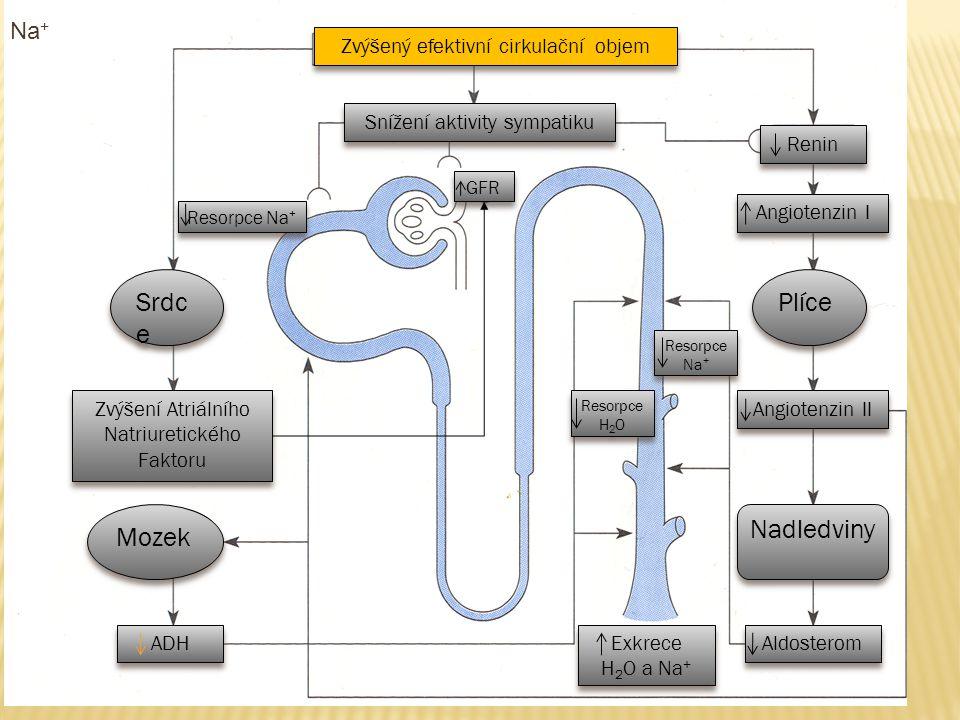 Na + Zvýšený efektivní cirkulační objem Snížení aktivity sympatiku Zvýšení Atriálního Natriuretického Faktoru Srdc e Mozek ADH Renin Angiotenzin I Plí