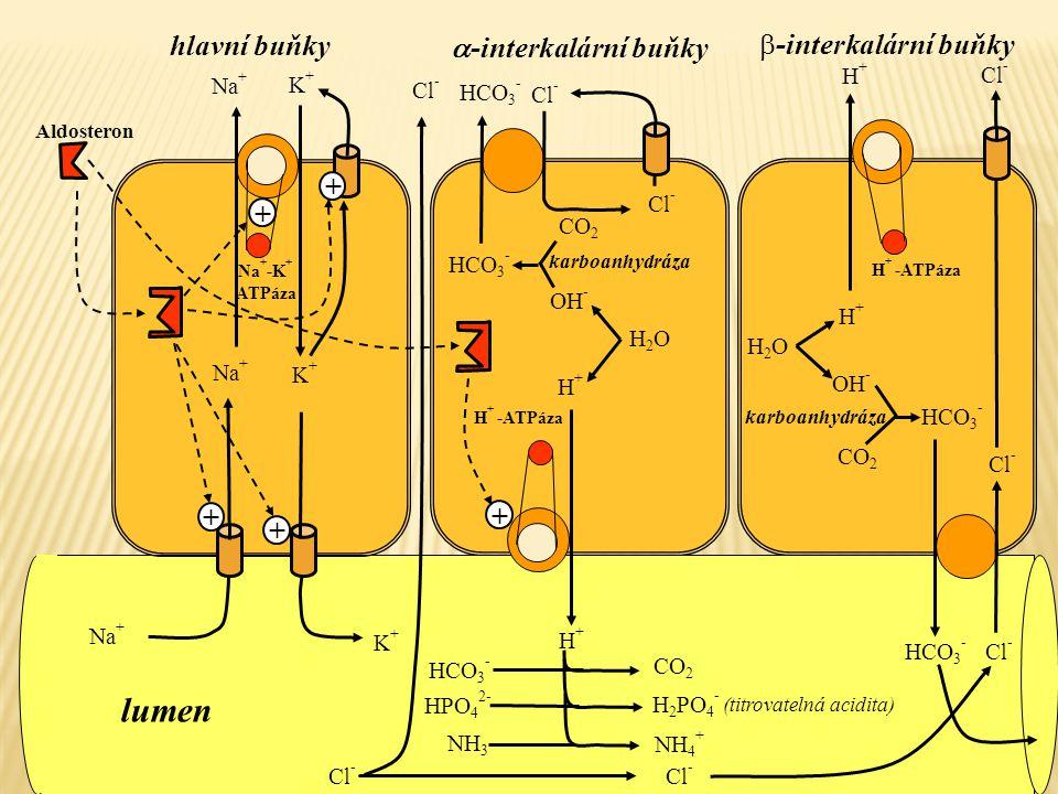 Na + K+K+ Na + -K + ATPáza K+K+ Na + Cl - Na + K+K+ Aldosteron H + -ATPáza H+H+ karboanhydráza CO 2 H2OH2O H+H+ OH - HCO 3 - Cl - HCO 3 - NH 3 NH 4 +