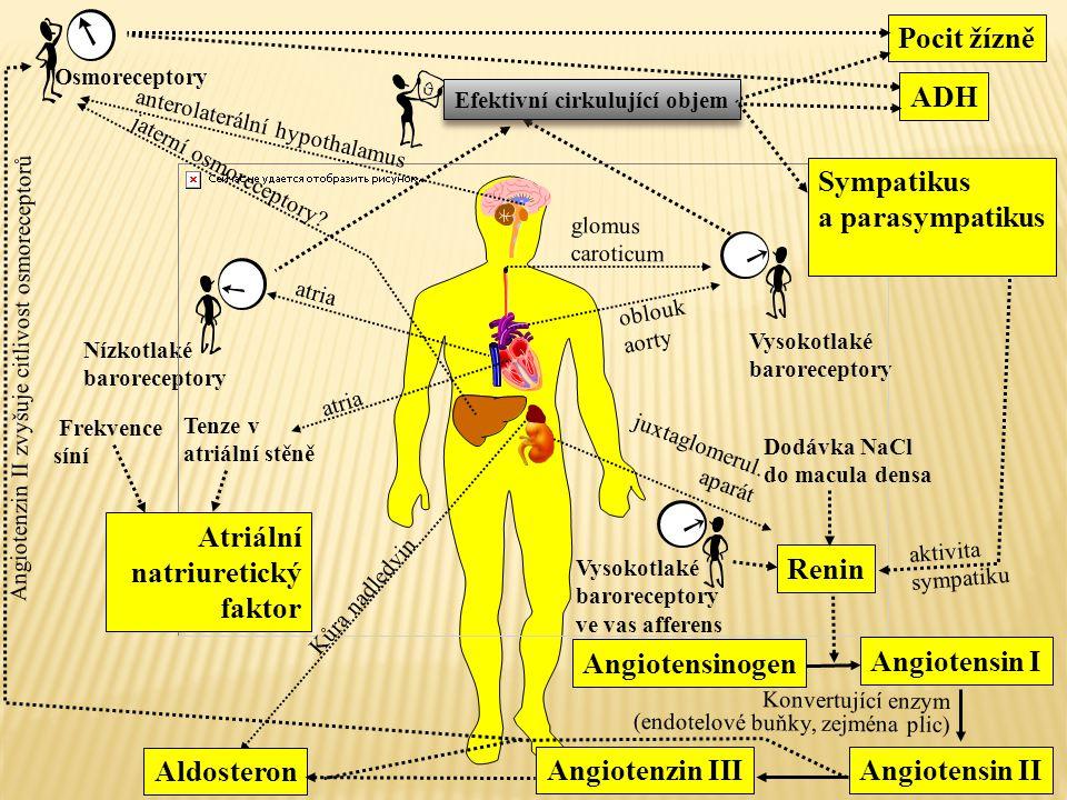 atria Nízkotlaké baroreceptory oblouk aorty juxtaglomerul. aparát Vysokotlaké baroreceptory glomus caroticum Osmoreceptory anterolaterální hypothalamu