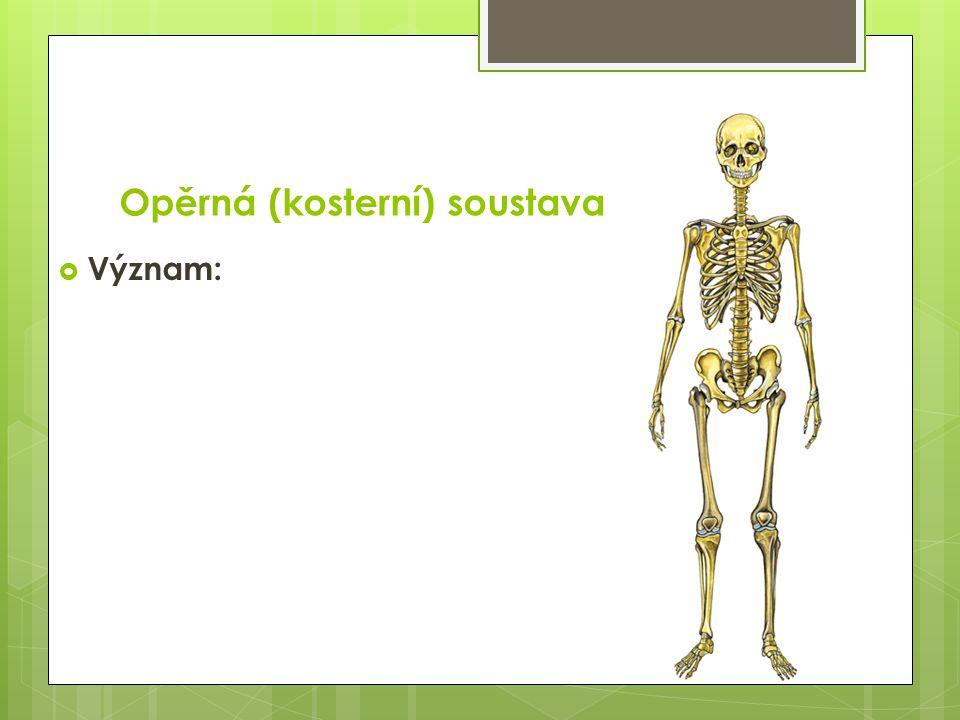 Opěrná (kosterní) soustava  je oporou těla