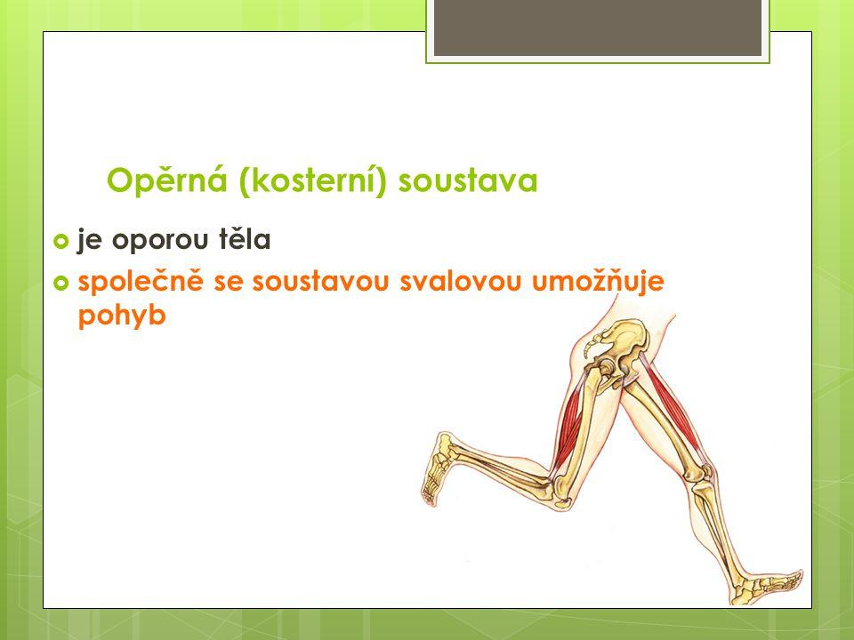 Opěrná (kosterní) soustava  je oporou těla  společně se soustavou svalovou umožňuje pohyb