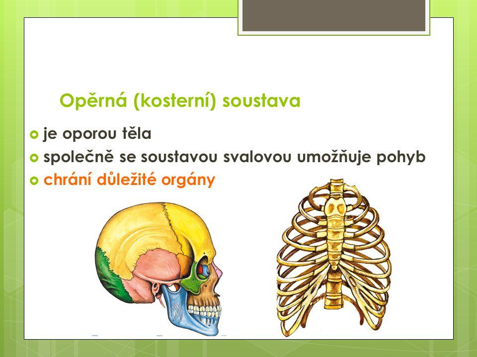 Opěrná (kosterní) soustava  je oporou těla  společně se soustavou svalovou umožňuje pohyb  chrání důležité orgány