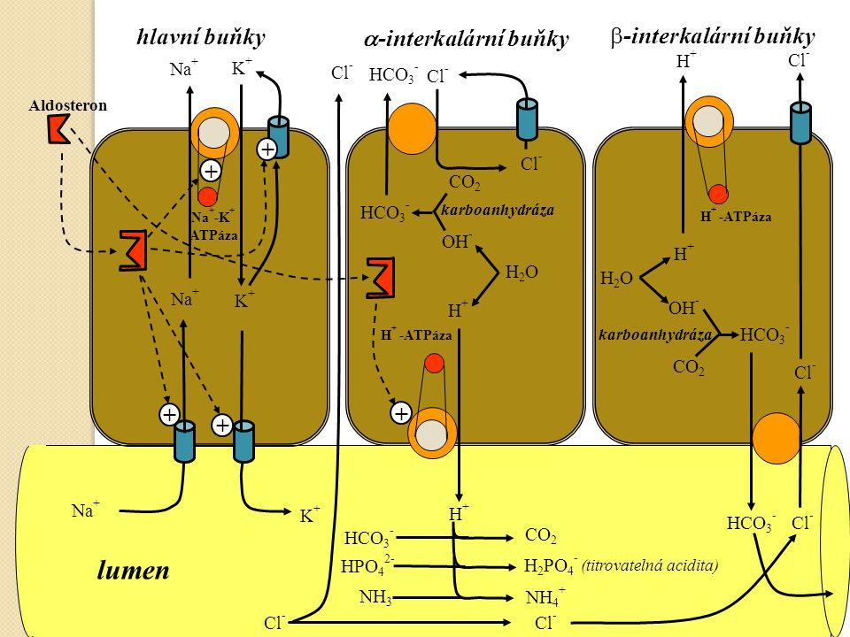 K+K+ Na + -K + ATPáza K+K+ Na + Cl - Na + K+K+ Aldosteron H + -ATPáza H+H+ karboanhydráza CO 2 H2OH2O H+H+ OH - HCO 3 - Cl - HCO 3 - NH 3 NH 4 + HCO 3