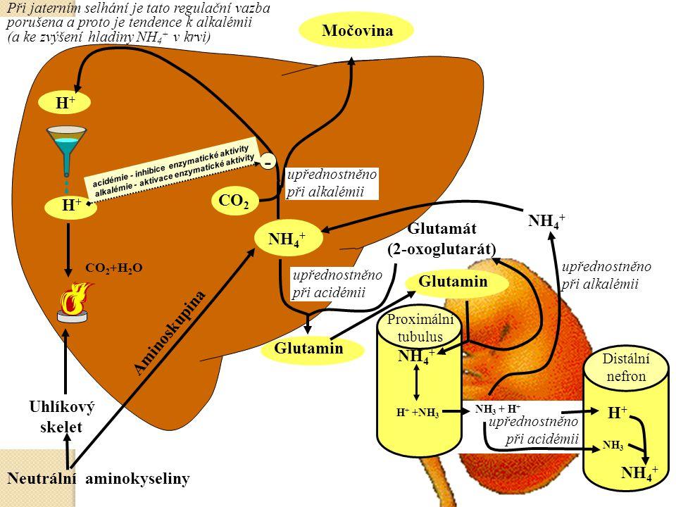 CO 2 +H 2 O H+H+ Neutrální aminokyseliny Uhlíkový skelet H+H+ Močovina NH 4 + CO 2 Aminoskupina Glutamin Glutamát (2-oxoglutarát) Glutamin NH 4 + H +