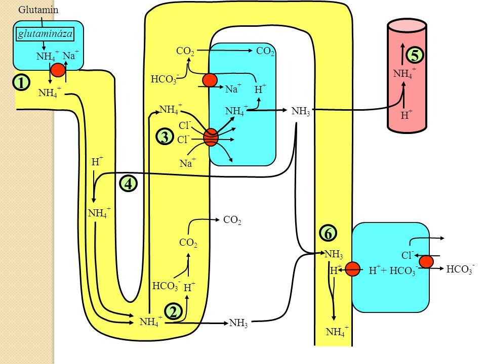 NH 4 + Na + NH 4 + Glutamin glutamináza NH 4 + NH 3 H+H+ HCO 3 - CO 2 NH 4 + H+H+ HCO 3 - CO 2 NH 3 NH 4 + Na + Cl - Na + NH 4 + H+H+ H+H+ H + + HCO 3