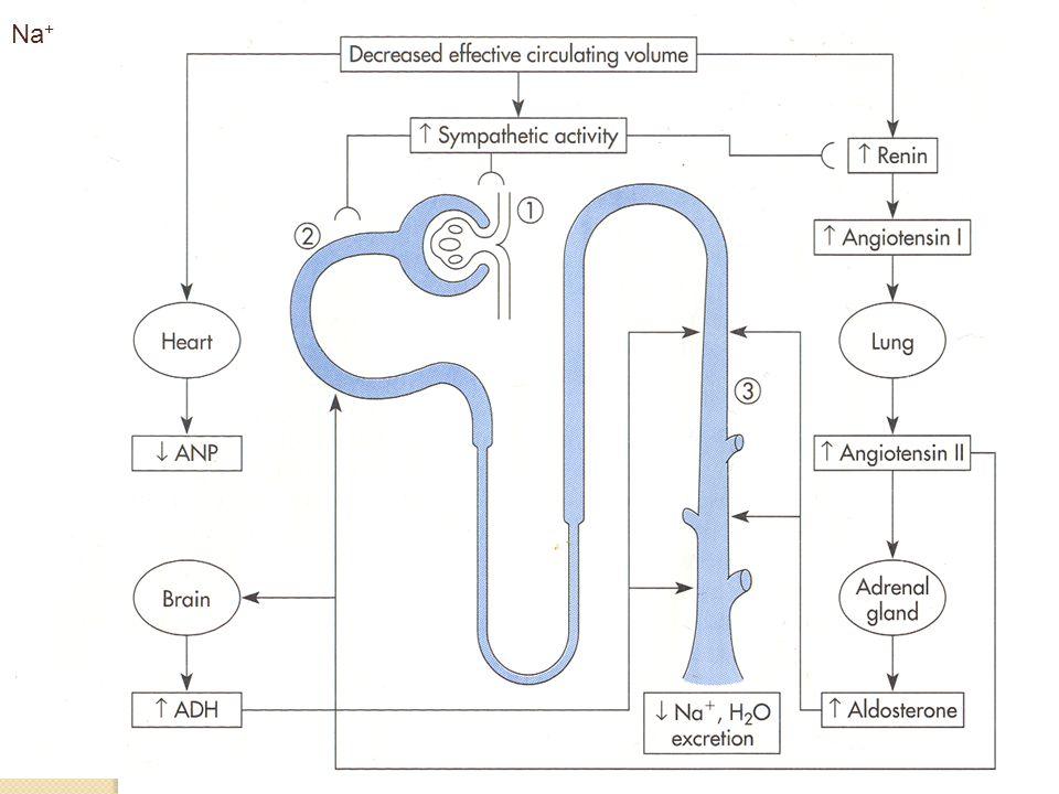 CO 2 +H 2 O H+H+ Neutrální aminokyseliny Uhlíkový skelet H+H+ Močovina NH 4 + CO 2 Aminoskupina Glutamin Glutamát (2-oxoglutarát) Glutamin NH 4 + H + +NH 3 H+H+ NH 3 + H + NH 3 NH 4 + Proximální tubulus Distální nefron upřednostněno při acidémii upřednostněno při acidémii upřednostněno při alkalémii NH 4 + upřednostněno při alkalémii - acidémie - inhibice enzymatické aktivity alkalémie - aktivace enzymatické aktivity Při jaterním selhání je tato regulační vazba porušena a proto je tendence k alkalémii (a ke zvýšení hladiny NH 4 + v krvi)