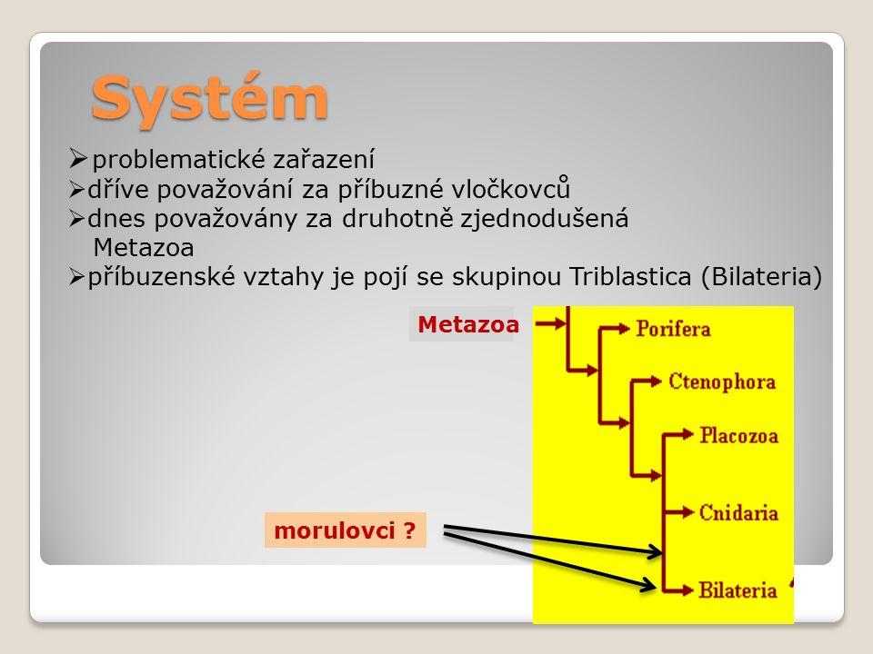 Systém  problematické zařazení  dříve považování za příbuzné vločkovců  dnes považovány za druhotně zjednodušená Metazoa  příbuzenské vztahy je pojí se skupinou Triblastica (Bilateria) Metazoa morulovci