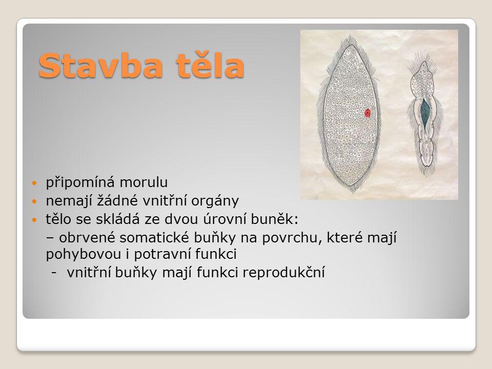 Stavba těla připomíná morulu nemají žádné vnitřní orgány tělo se skládá ze dvou úrovní buněk: – obrvené somatické buňky na povrchu, které mají pohybov