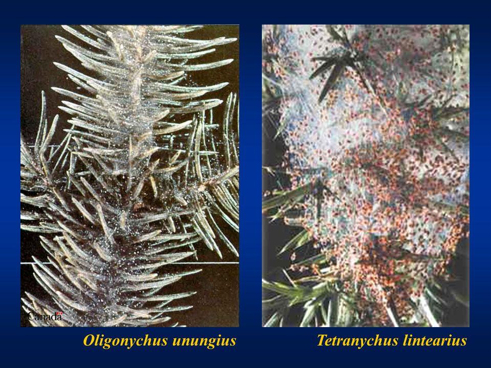 Oligonychus unungiusTetranychus lintearius