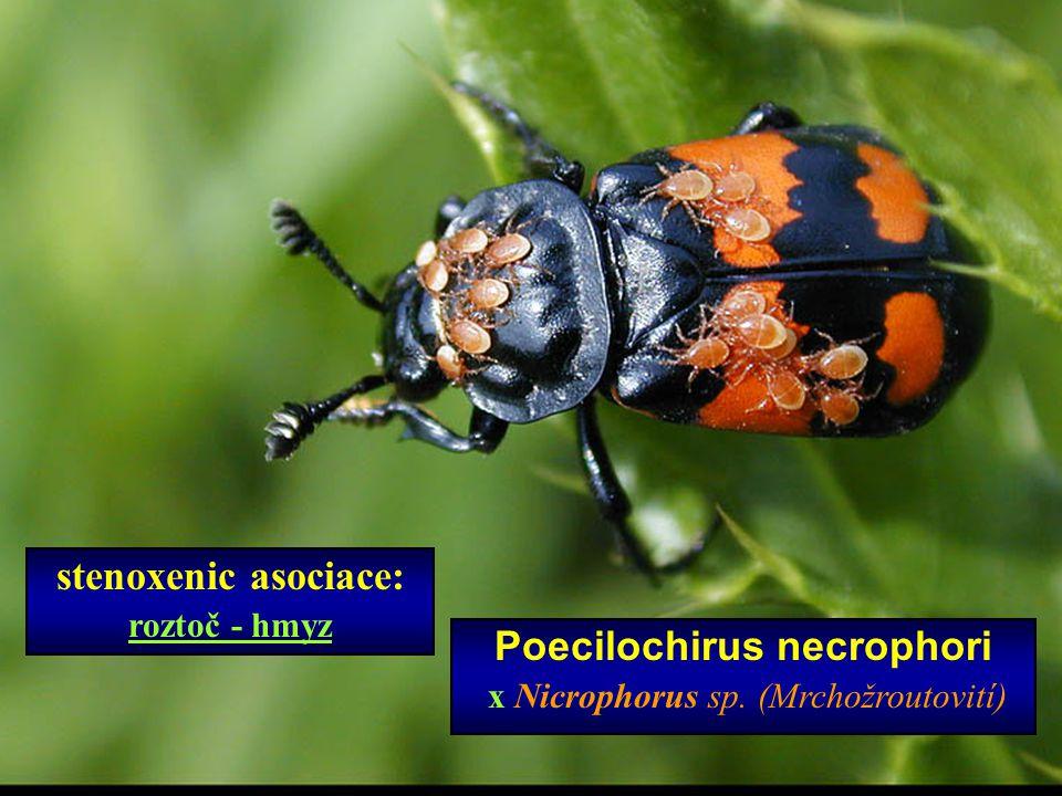 Poecilochirus necrophori x Nicrophorus sp. (Mrchožroutovití) stenoxenic asociace: roztoč - hmyz