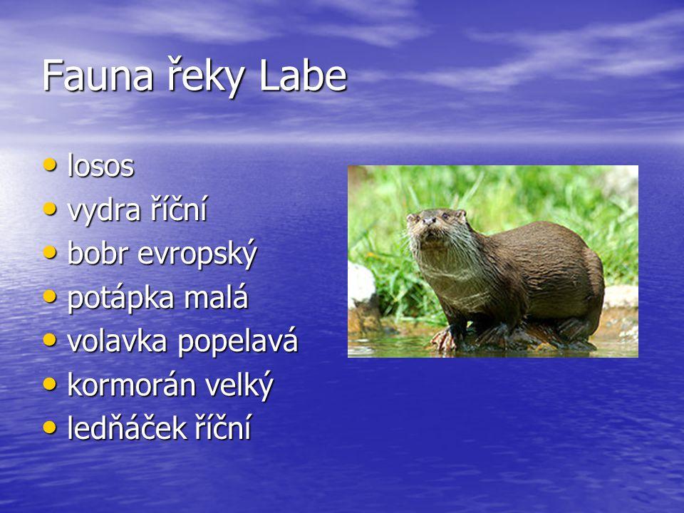Fauna řeky Labe losos losos vydra říční vydra říční bobr evropský bobr evropský potápka malá potápka malá volavka popelavá volavka popelavá kormorán velký kormorán velký ledňáček říční ledňáček říční