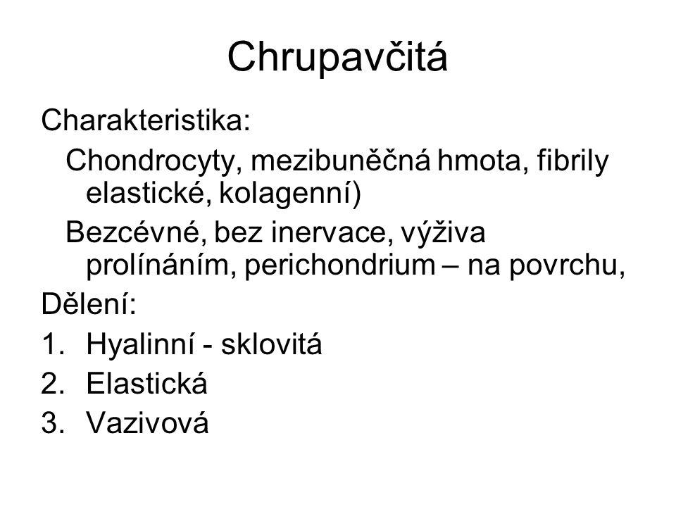 Chrupavčitá Charakteristika: Chondrocyty, mezibuněčná hmota, fibrily elastické, kolagenní) Bezcévné, bez inervace, výživa prolínáním, perichondrium –