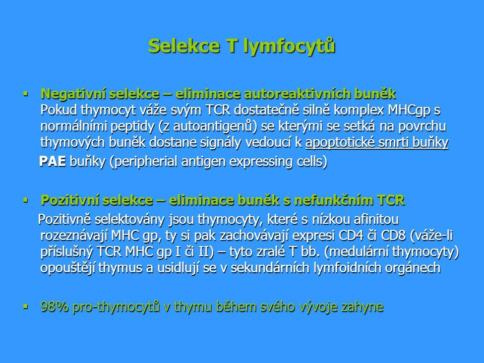 Selekce T lymfocytů  Negativní selekce – eliminace autoreaktivních buněk Pokud thymocyt váže svým TCR dostatečně silně komplex MHCgp s normálními pep