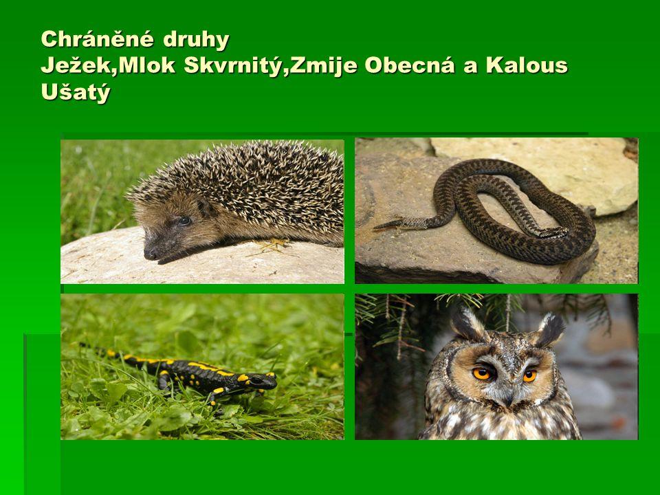 Chráněné druhy Ježek,Mlok Skvrnitý,Zmije Obecná a Kalous Ušatý