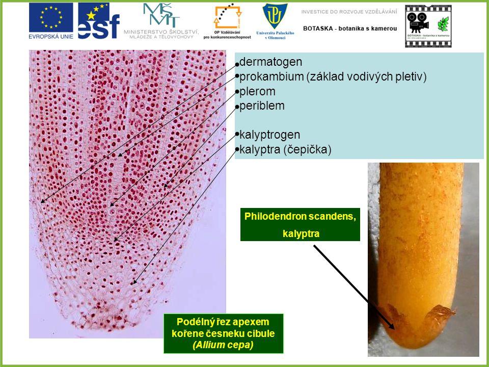 dermatogen prokambium (základ vodivých pletiv) plerom periblem kalyptrogen kalyptra (čepička) Podélný řez apexem kořene česneku cibule (Allium cepa) P