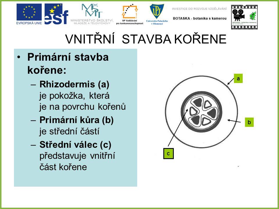 VNITŘNÍ STAVBA KOŘENE Primární stavba kořene: –Rhizodermis (a) je pokožka, která je na povrchu kořenů –Primární kůra (b) je střední částí –Střední vál